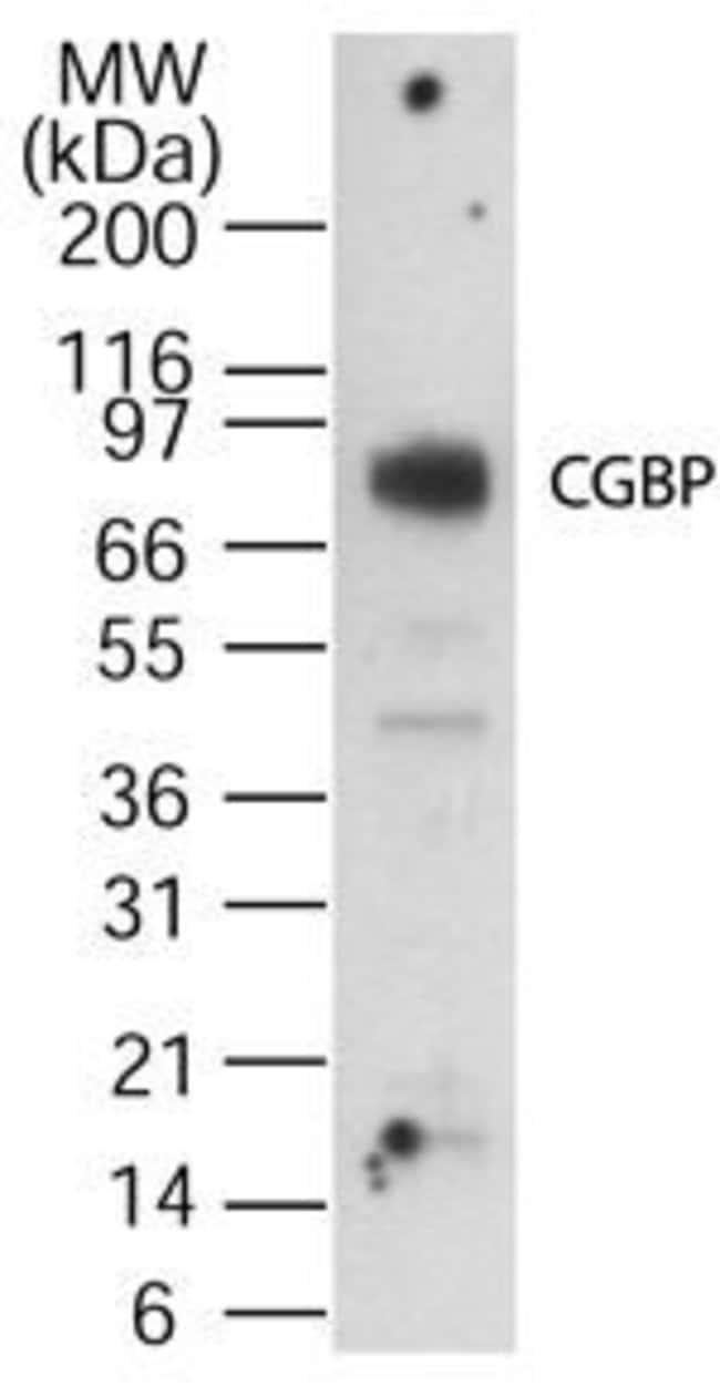CGBP Rabbit anti-Human, Polyclonal, Invitrogen 200 µL; Unconjugated