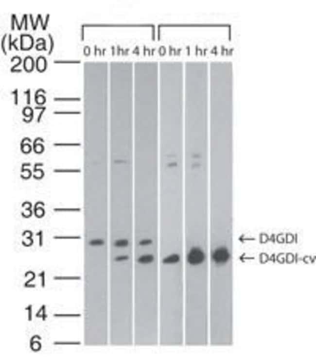 D4-GDI Mouse anti-Human, Mouse, Clone: 97A1015, Invitrogen 100 µg;