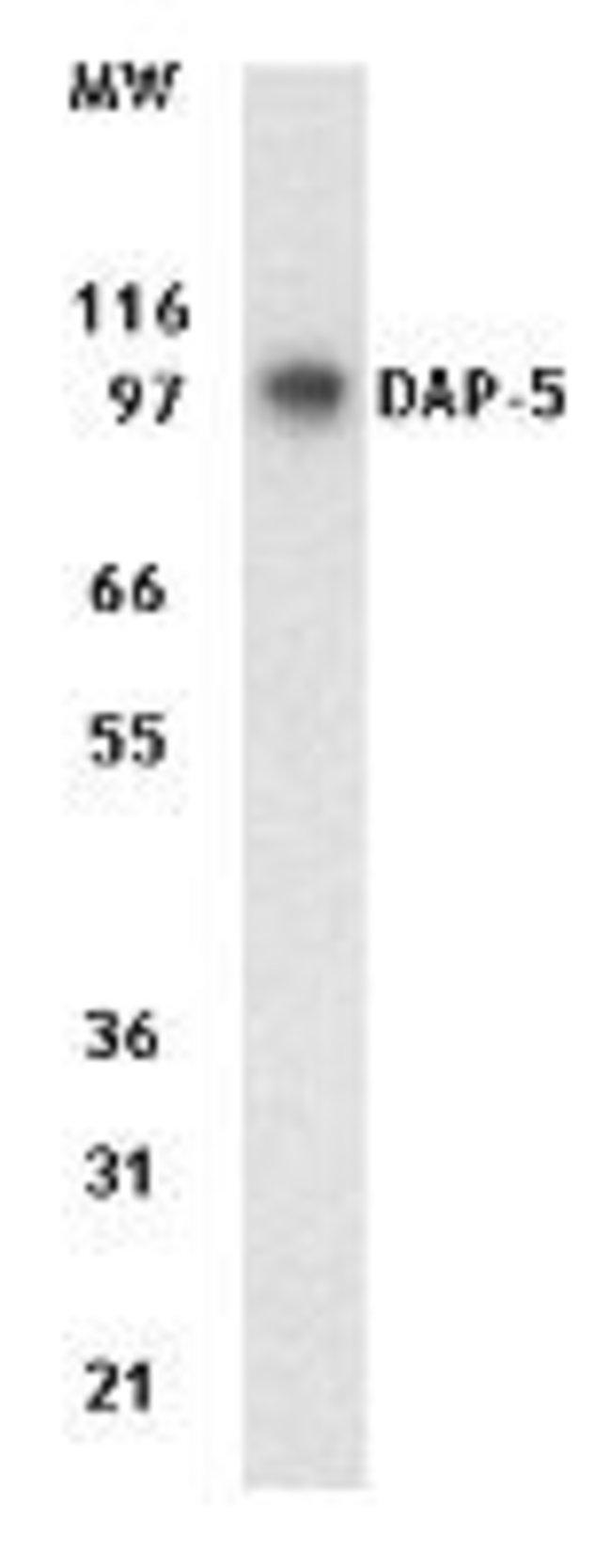DAP5 Mouse anti-Human, Mouse, Clone: 39C534.1, Invitrogen 100 µg;