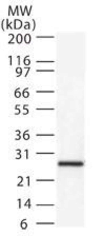 DIABLO Rabbit anti-Human, Polyclonal, Invitrogen 100 µg; Unconjugated