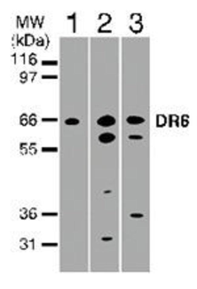 DR6 Rabbit anti-Human, Polyclonal, Invitrogen 100 μg; Unconjugated:Antibodies