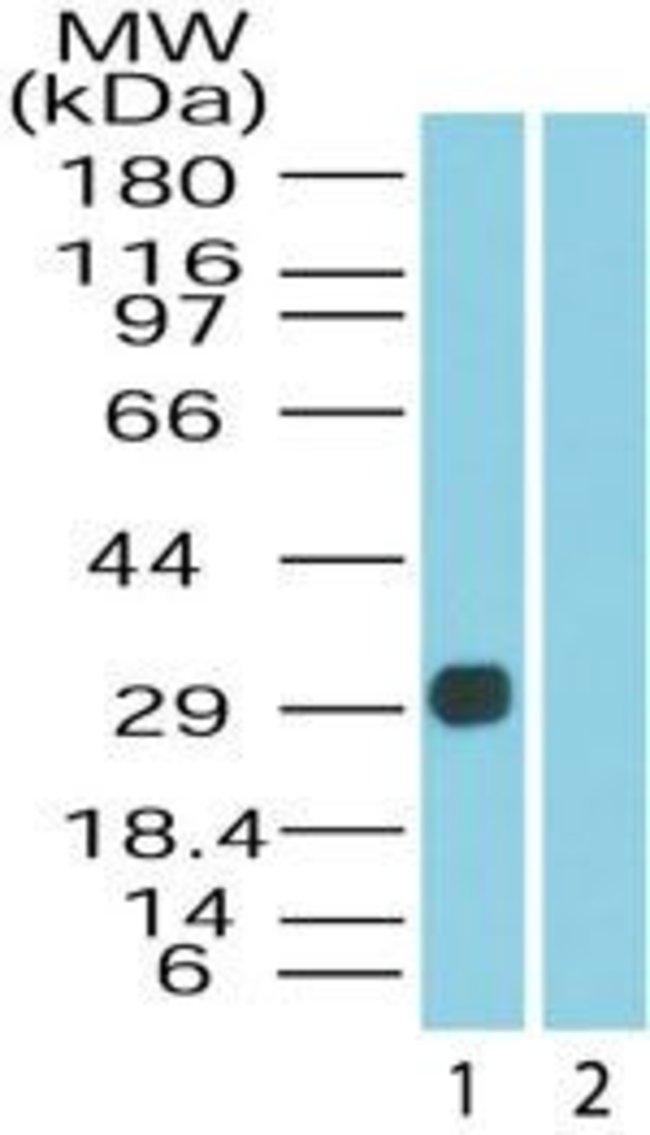 DUSP13 Isoform 3 Rabbit anti-Human, Non-human primate, Polyclonal, Invitrogen