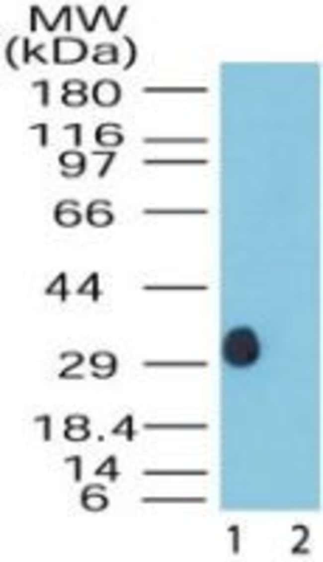DUSP13 Isoform 1-3 Rabbit anti-Bovine, Canine, Human, Non-human primate,