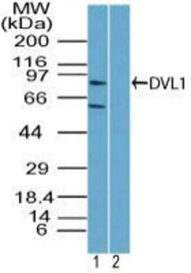 DVL1 Rabbit anti-Human, Mouse, Non-human primate, Rat, Polyclonal, Invitrogen