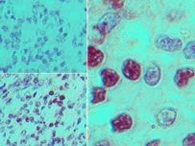 GPR183 Rabbit anti-Human, Polyclonal, Invitrogen 100 µg; Unconjugated