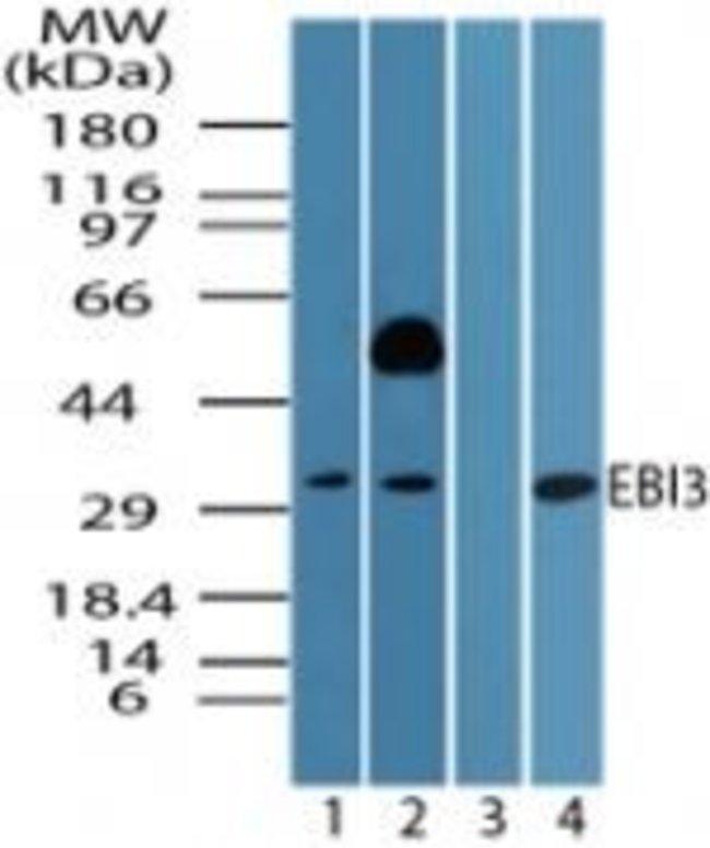 EBI3 Rabbit anti-Human, Mouse, Polyclonal, Invitrogen 100 µg; Unconjugated