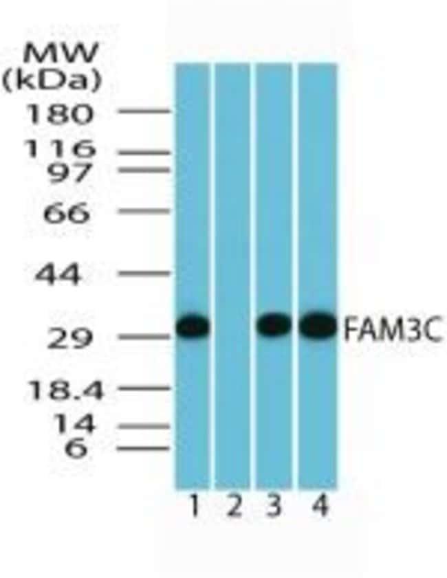 FAM3C Rabbit anti-Human, Mouse, Rat, Polyclonal, Invitrogen 100 µg;