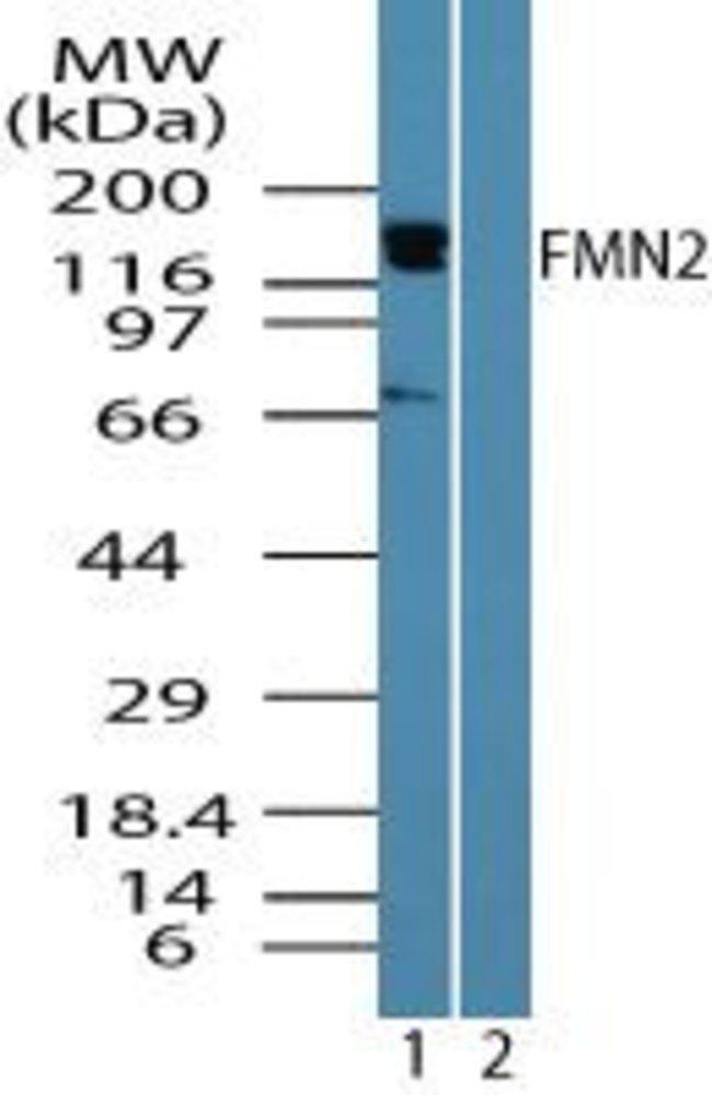 FMN2 Rabbit anti-Human, Polyclonal, Invitrogen 100 µg; Unconjugated