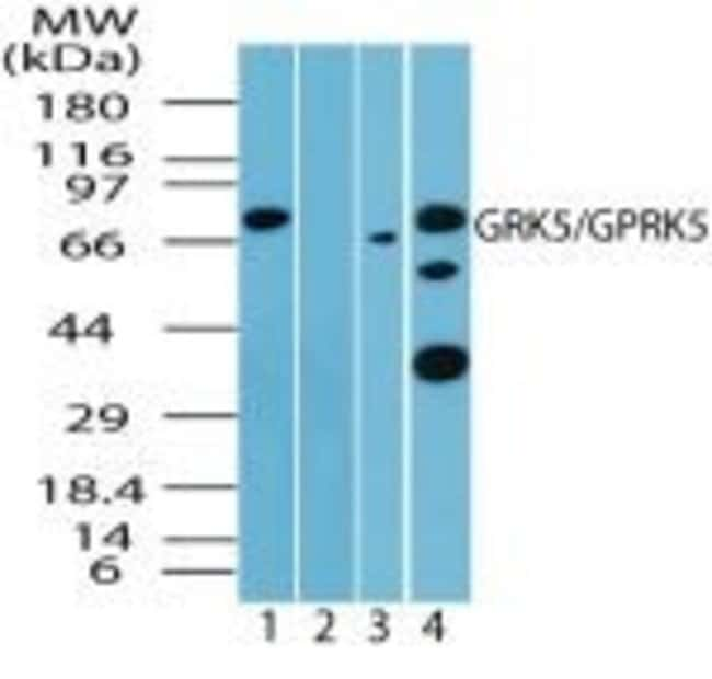 GRK5 Rabbit anti-Bovine, Human, Mouse, Rat, Polyclonal, Invitrogen 100