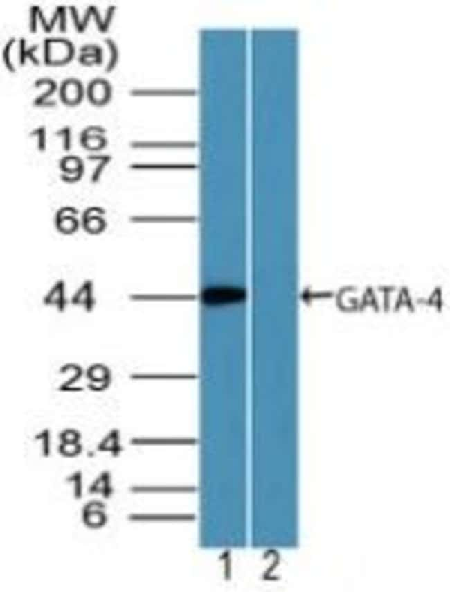 GATA4 Rabbit anti-Human, Polyclonal, Invitrogen 100 µg; Unconjugated
