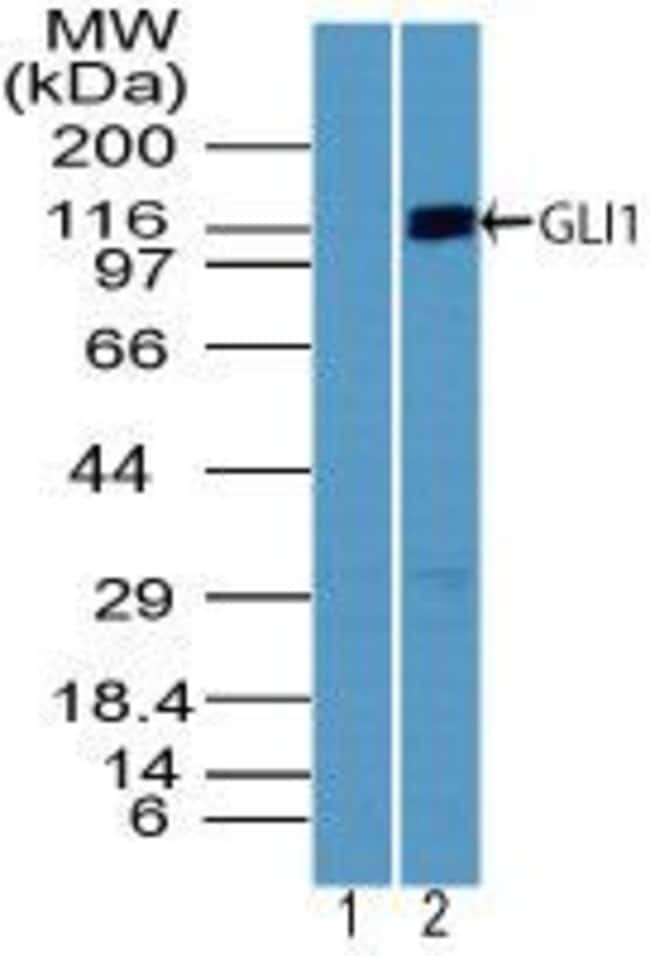 GLI1 Rabbit anti-Human, Non-human primate, Polyclonal, Invitrogen 100 µg;