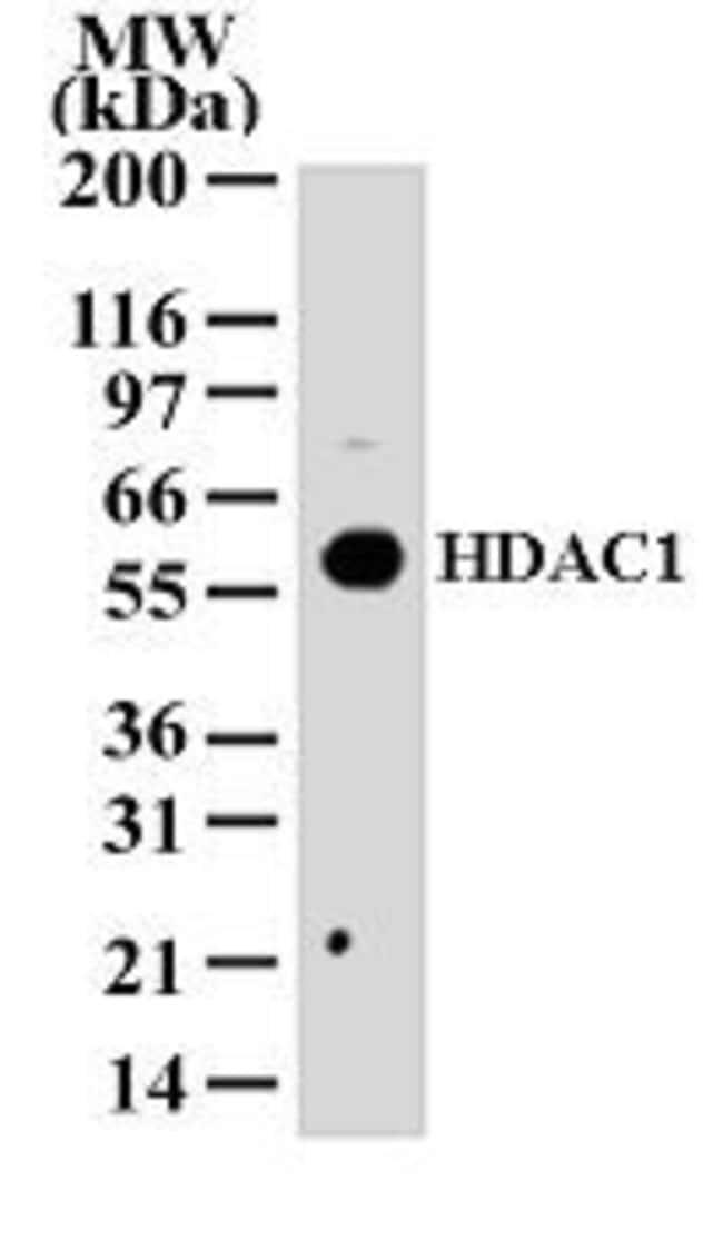 HDAC1 Rabbit anti-Human, Mouse, Rat, Polyclonal, Invitrogen 100 μg;