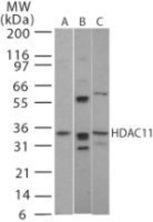 HDAC11 Rabbit anti-Human, Mouse, Rat, Polyclonal, Invitrogen 100 μg;