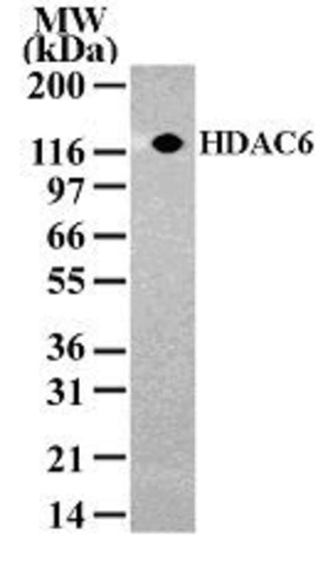 HDAC6 Rabbit anti-Human, Mouse, Polyclonal, Invitrogen 100 µg; Unconjugated