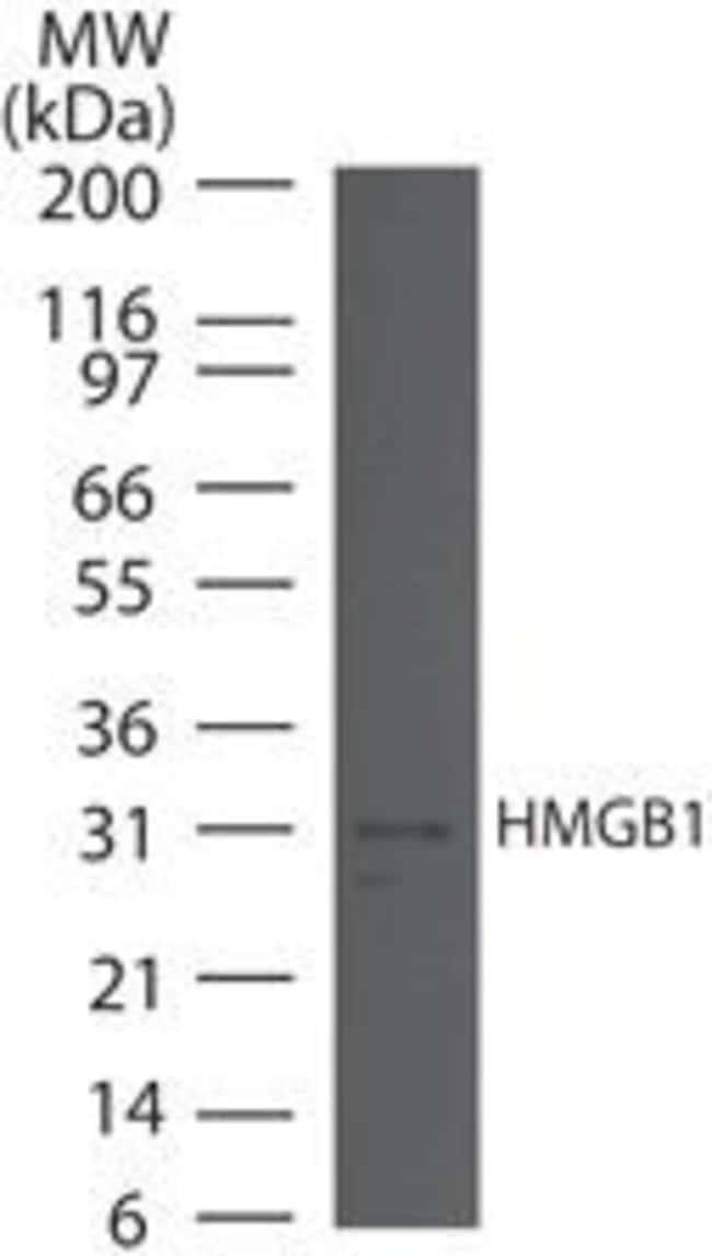 HMGB1 Rabbit anti-Human, Mouse, Polyclonal, Invitrogen 100 µg; Unconjugated