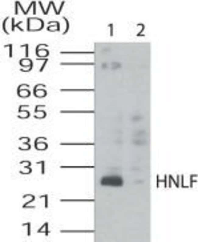 TMED4 Rabbit anti-Human, Polyclonal, Invitrogen 100 μg; Unconjugated:Antibodies