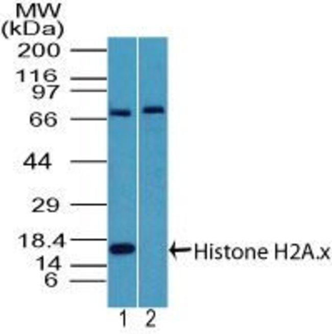 Histone H2A.X Rabbit anti-Human, Polyclonal, Invitrogen 100 µg; Unconjugated