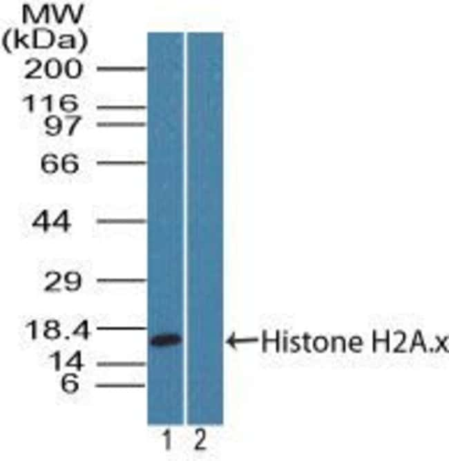 Histone H2A.X Rabbit anti-Human, Non-human primate, Polyclonal, Invitrogen