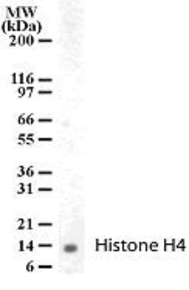 Histone H4 Rabbit anti-Human, Polyclonal, Invitrogen 100 μg; Unconjugated:Antibodies