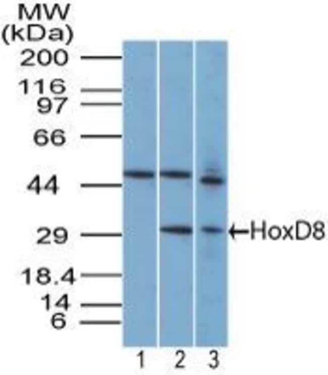 HOXD8 Rabbit anti-Human, Mouse, Non-human primate, Polyclonal, Invitrogen