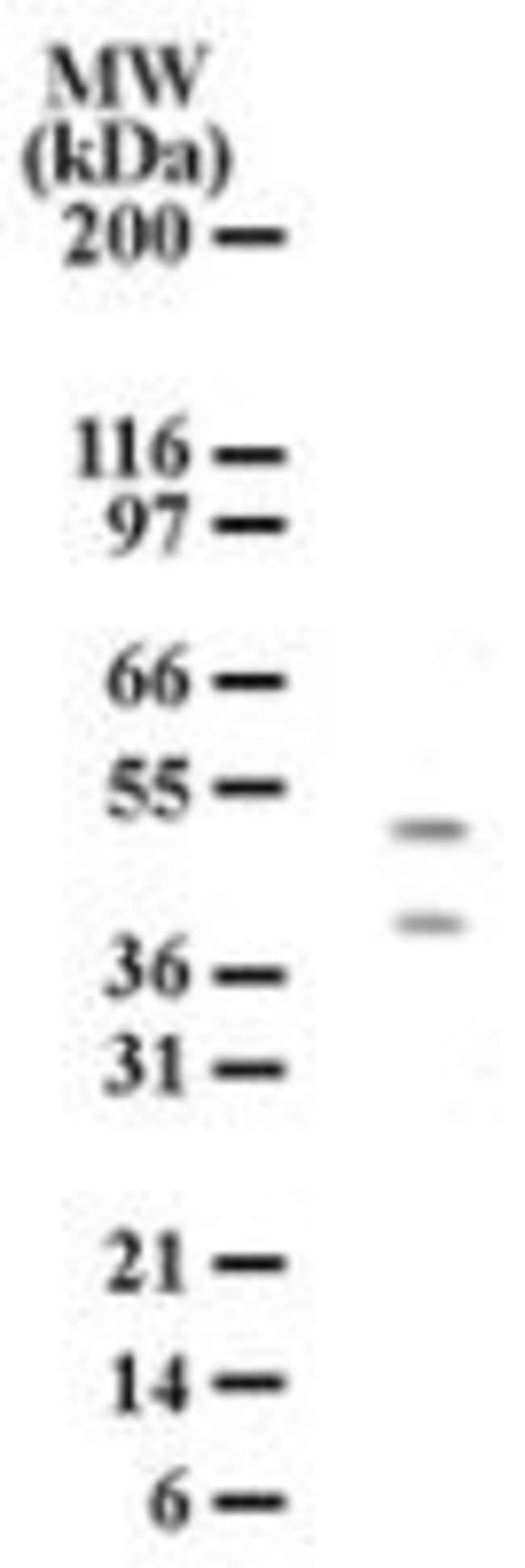 HTRA2 Mouse anti-Human, Clone: 196C429, Invitrogen 100 µg; Unconjugated
