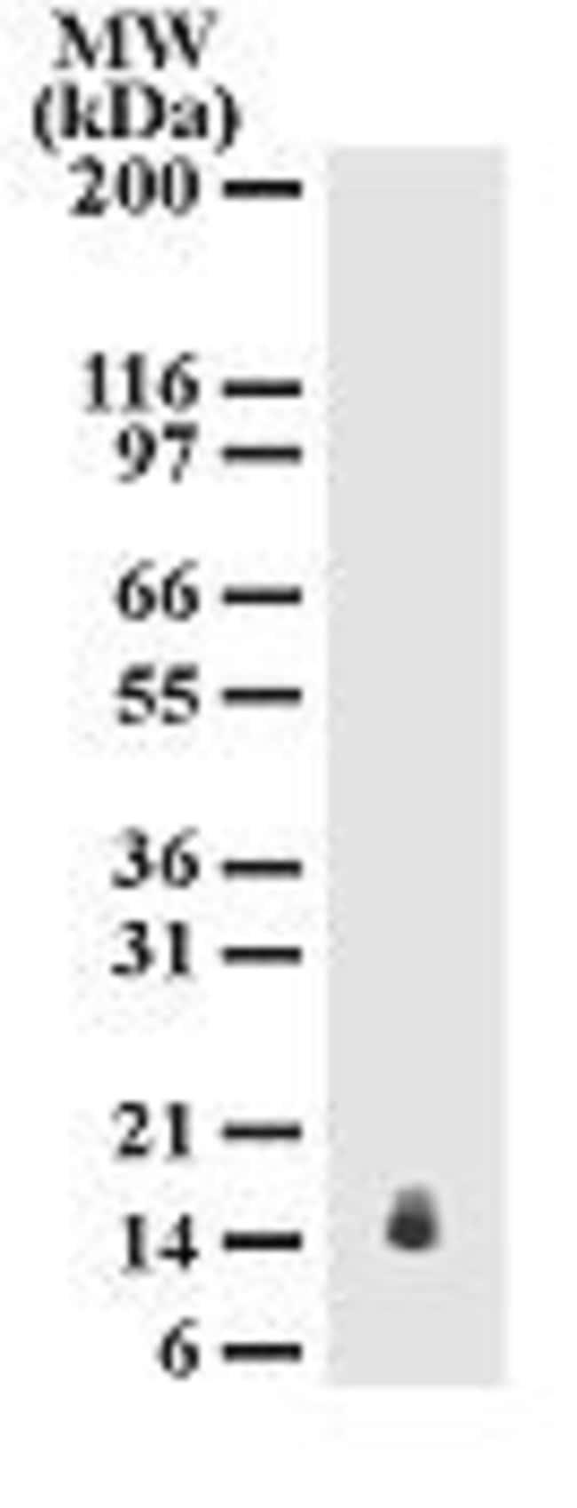 IL-25 Mouse anti-Human, Mouse, Clone: 68C1039.2, Invitrogen 100 µg;