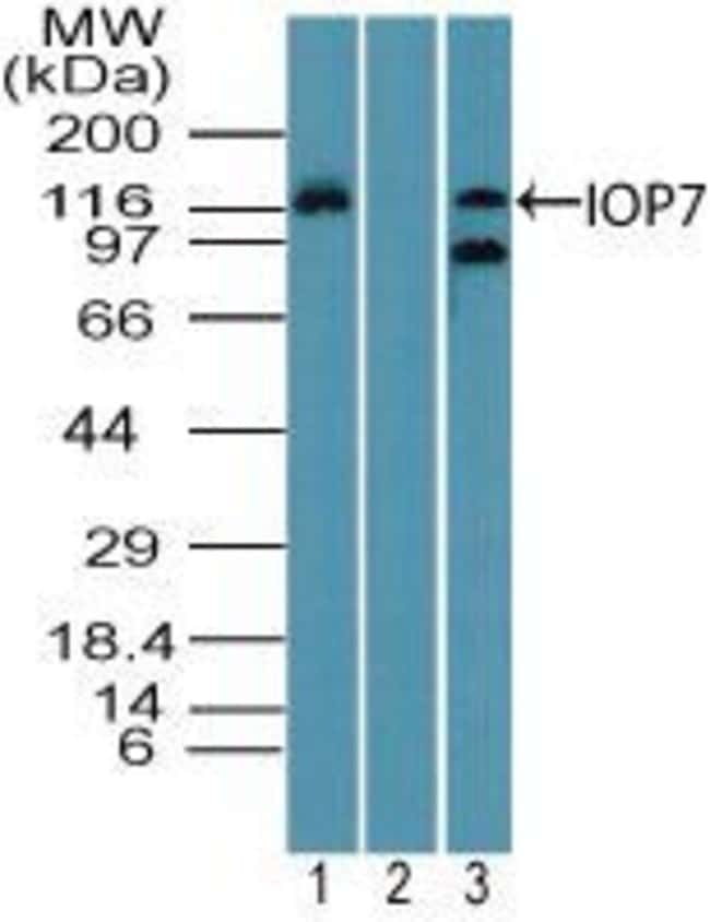 Importin 7 Rabbit anti-Human, Mouse, Polyclonal, Invitrogen 100 µg;