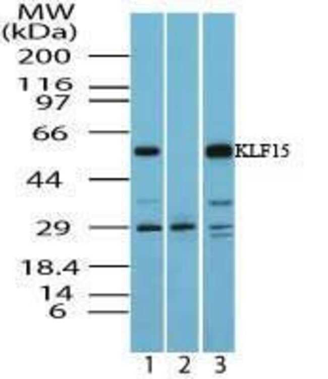 KLF15 Rabbit anti-Human, Polyclonal, Invitrogen 100 µg; Unconjugated