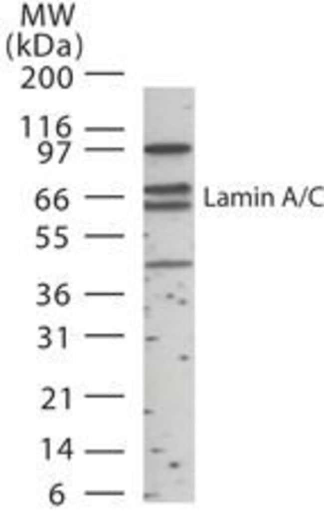 Lamin A/C Rabbit anti-Human, Polyclonal, Invitrogen 200 µL; Unconjugated