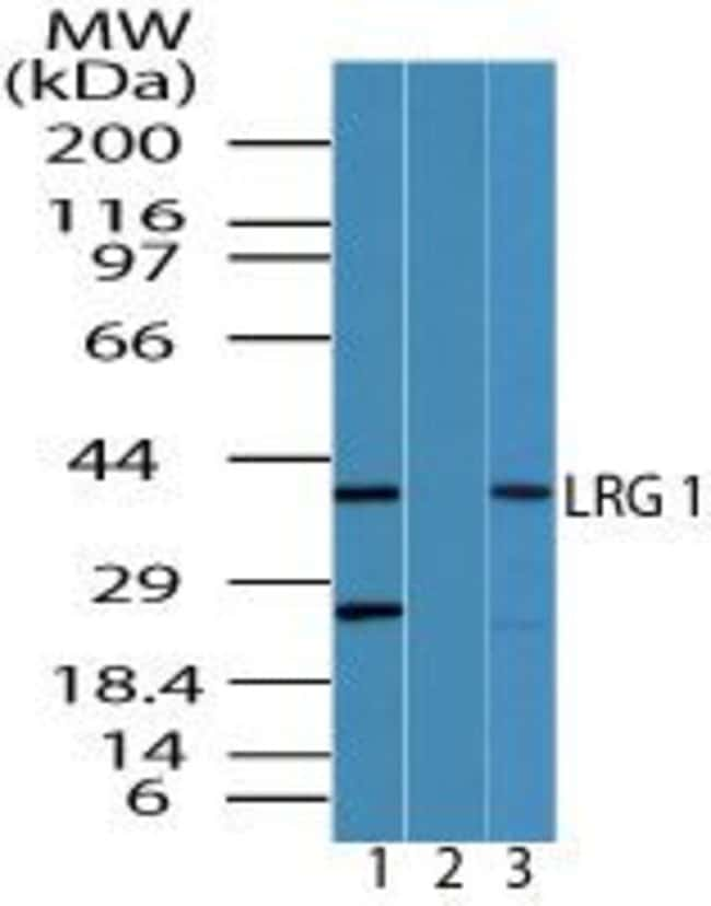 LRG1 Rabbit anti-Human, Mouse, Non-human primate, Polyclonal, Invitrogen