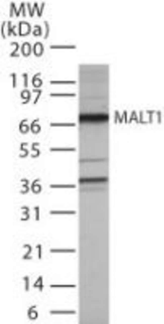 MALT1 Rabbit anti-Human, Polyclonal, Invitrogen 100 µg; Unconjugated