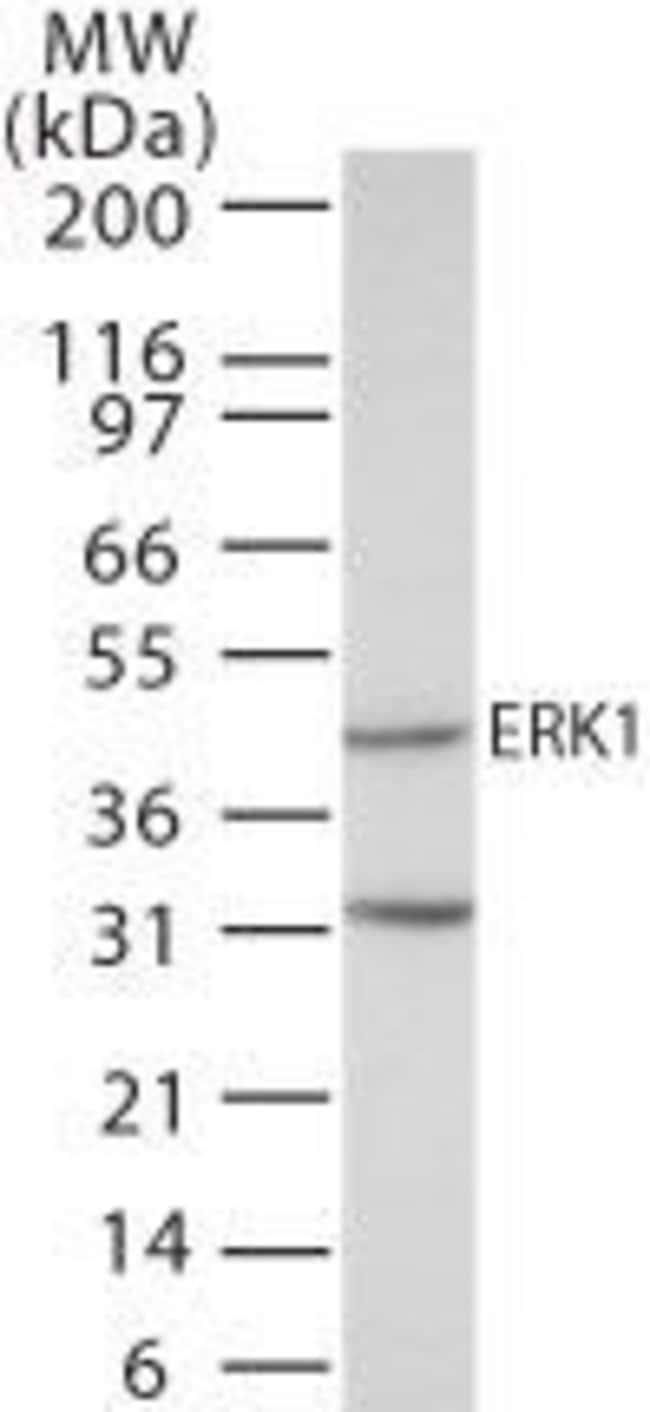 ERK1 Rabbit anti-Human, Polyclonal, Invitrogen 100 µg; Unconjugated