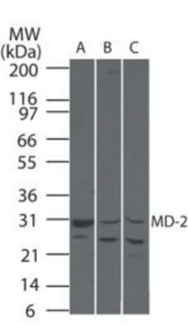 MD-2 Rabbit anti-Human, Mouse, Rat, Polyclonal, Invitrogen 100 µg;
