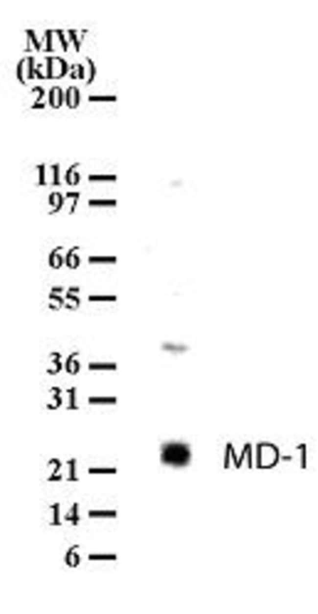 MD-1 Rabbit anti-Human, Mouse, Polyclonal, Invitrogen 100 μg; Unconjugated:Antibodies