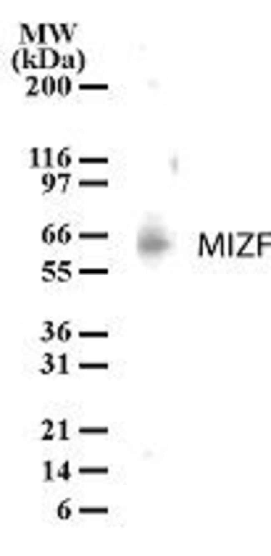 HINFP Rabbit anti-Human, Polyclonal, Invitrogen 200 μL; Unconjugated:Antibodies