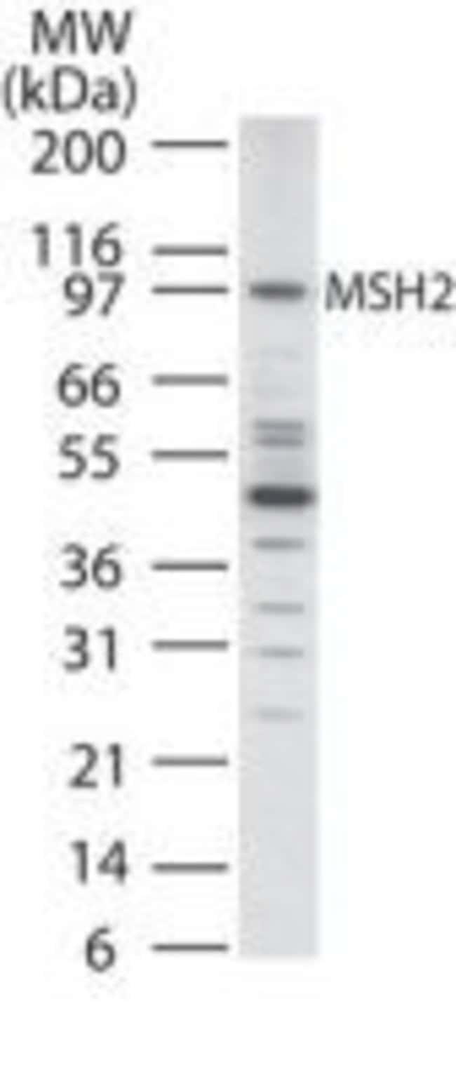 MSH2 Rabbit anti-Human, Mouse, Polyclonal, Invitrogen 100 μg; Unconjugated:Antibodies