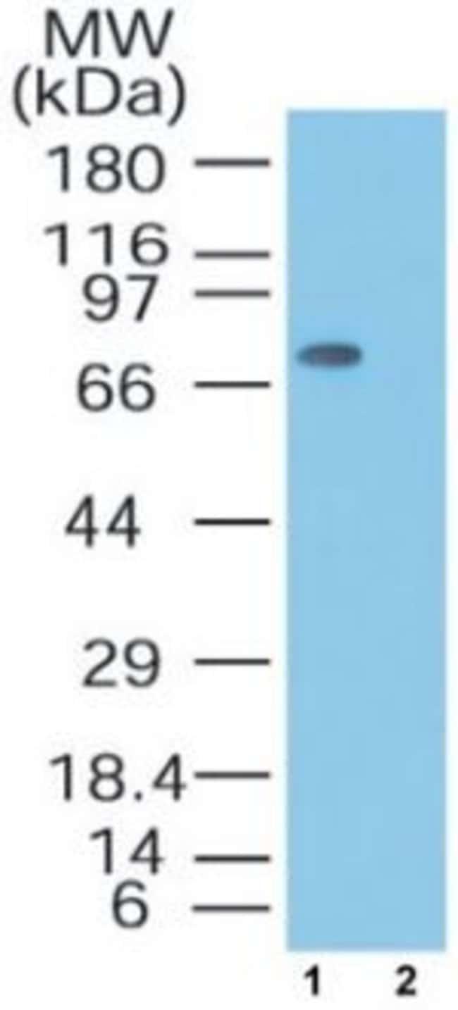 MTA2 Rabbit anti-Human, Non-human primate, Polyclonal, Invitrogen 100 μg;