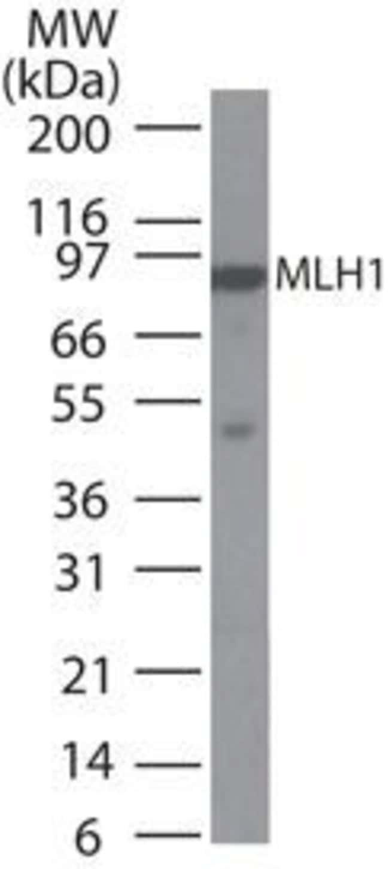 MLH1 Mouse anti-Human, Clone: 164C819, Invitrogen 100 µg; Unconjugated