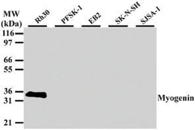 Myogenin Mouse anti-Human, Mouse, Rat, Clone: 5FD, Invitrogen 100 µg;