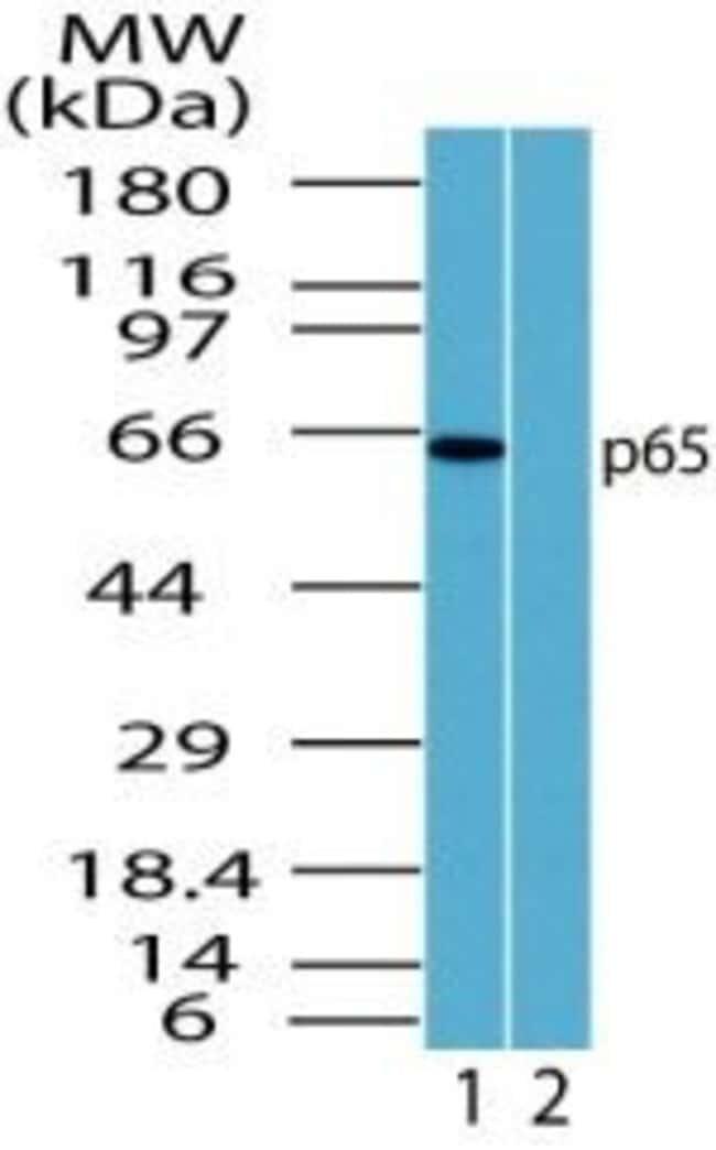 NFkB p65 Rabbit anti-Human, Non-human primate, Polyclonal, Invitrogen 100