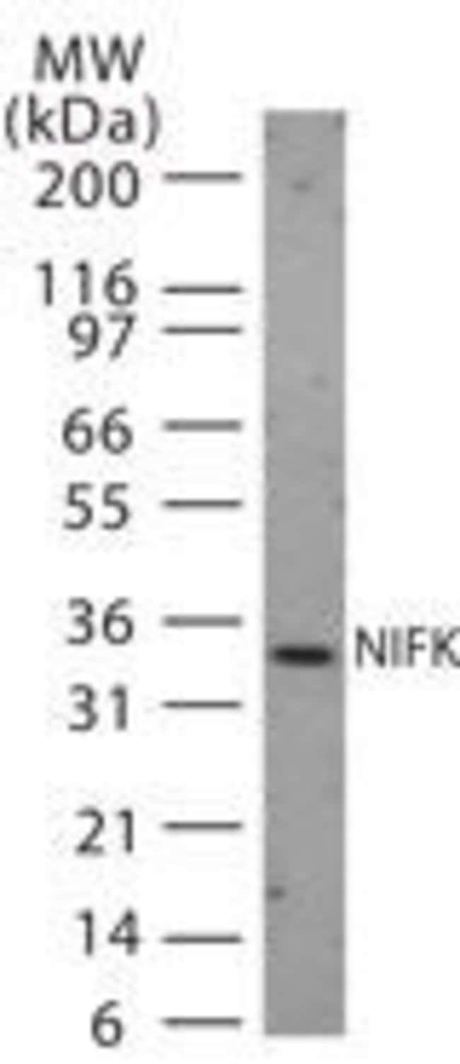 NIFK Rabbit anti-Human, Polyclonal, Invitrogen 200 µL; Unconjugated