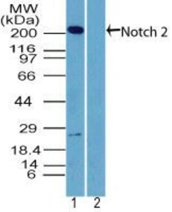 NOTCH2 Rabbit anti-Human, Polyclonal, Invitrogen 100 µg; Unconjugated