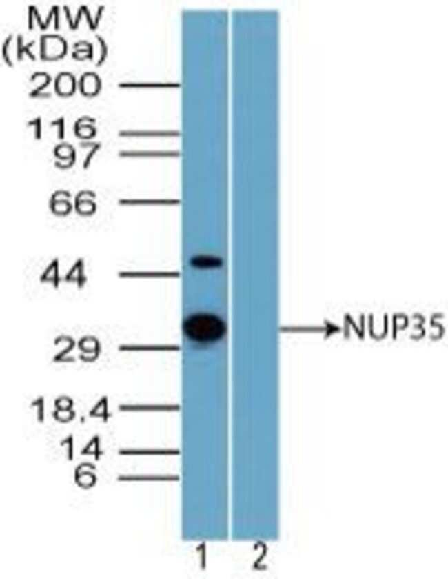 NUP35 Rabbit anti-Human, Polyclonal, Invitrogen 100 µg; Unconjugated
