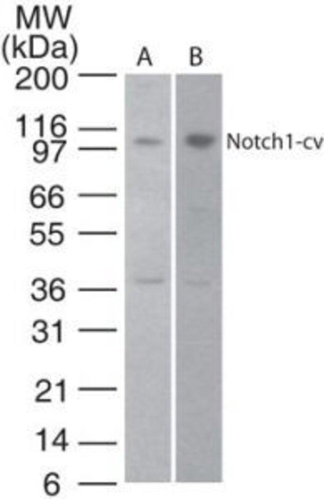 NOTCH1 Rabbit anti-Bovine, Canine, Human, Mouse, Rat, Polyclonal, Invitrogen