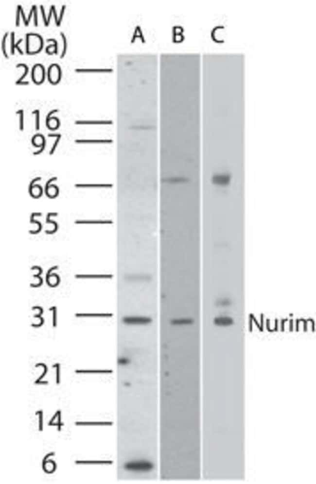 Nurim Rabbit anti-Human, Mouse, Polyclonal, Invitrogen 100 µg; Unconjugated