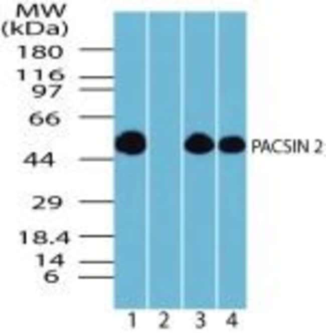 PACSIN2 Rabbit anti-Human, Mouse, Non-human primate, Rat, Xenopus laevis,
