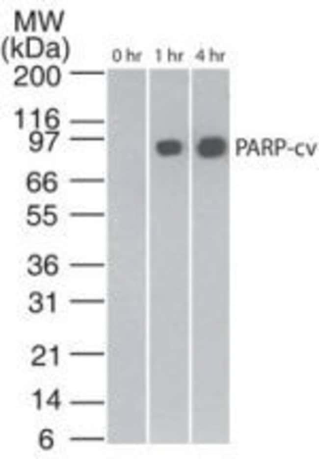 PARP1 (cleaved Asp214, Asp215) Mouse anti-Human, Clone: 194C1439, Invitrogen
