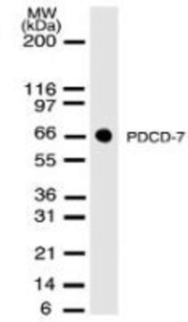 PDCD7 Mouse anti-Mouse, Clone: 46C713.2.1, Invitrogen 100 µg; Unconjugated
