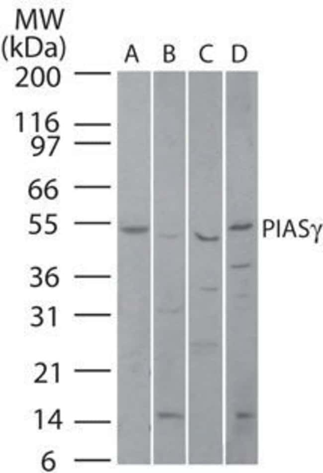 PIASy Rabbit anti-Human, Mouse, Rat, Polyclonal, Invitrogen 100 µg;