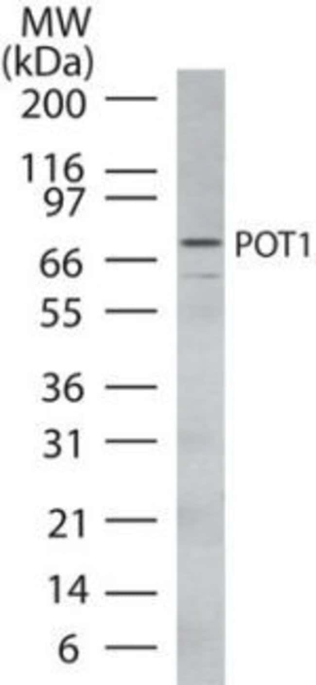 POT1 Rabbit anti-Human, Polyclonal, Invitrogen 100 µg; Unconjugated